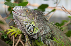 Green Iguana Reptile Royalty Free Stock Image