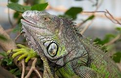 Green Iguana Reptile Royalty Free Stock Image