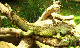 Green iguana rest. Green iguana in crocodile bank in chenai, taminadu, india.They are tree dwelling animals and very good swimmers Stock Photo