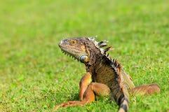 Green iguana resting Stock Photos