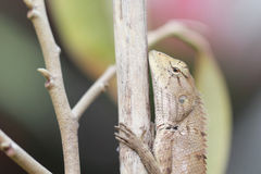 Green iguana resting on a branch Stock Photography