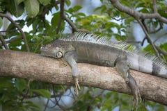 Green Iguana Resting in the Heat Stock Photo