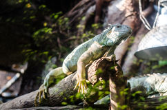 Green iguana resting on a tree branch Royalty Free Stock Photo