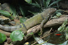 A Green Iguana. An iguana rests on a log surveying its realm royalty free stock images