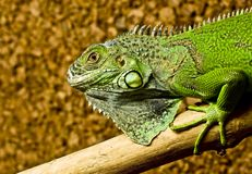 A green iguana rests on the tree Royalty Free Stock Photography