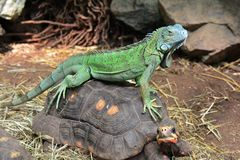 Iguana riding bare back. A green iguana rides on the back of a red footed tortoise. Giddyup and ridem cowboy royalty free stock photo