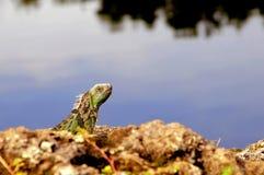 Green iguana on rock, Florida Stock Image