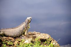 Green iguana on rock in Florida Royalty Free Stock Image
