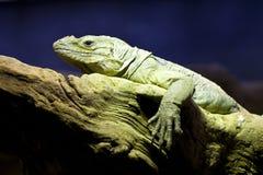Green Iguana on a Rock Royalty Free Stock Photos
