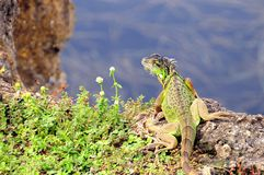 Green iguana on rock over water, Florida Royalty Free Stock Photography