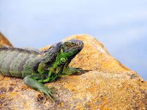Green iguana on rock over water in South Florida Stock Image