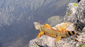Green iguana on rock, South Florida Royalty Free Stock Photos