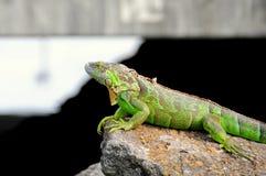Green iguana on rock in South Florida Royalty Free Stock Photos