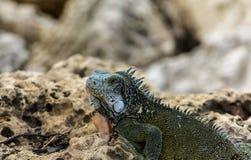 Iguana on Rocks Looking Royalty Free Stock Image