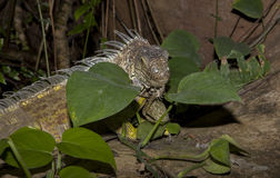Green iguana on the rocks Royalty Free Stock Images