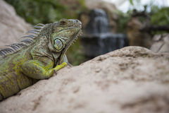 Green iguana on the rocks Stock Images