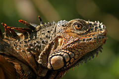 Green Iguana. San Ignacio, Save Iguana Project, Belize Stock Image