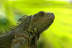 Green Iguana. San Ignacio, Save Iguana Project, Belize Royalty Free Stock Photography