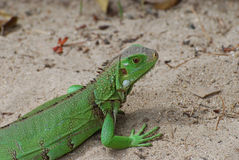 Green Iguana on a Sand Beach. A green iguana in Aruba on a sand beach Stock Image