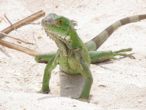 Green Iguana on a Sandy Beach. In Aruba Stock Photography