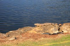 Green iguana, scientifically called Iguana iguana. Suns itself beside a pond on a golf course in Florida Stock Images