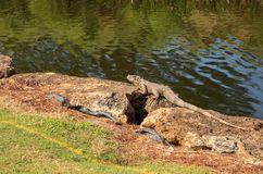 Green iguana, scientifically called Iguana iguana. Suns itself beside a pond on a golf course in Florida Royalty Free Stock Photography