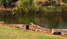 Green iguana, scientifically called Iguana iguana. Suns itself beside a pond on a golf course in Florida Stock Image