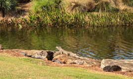 Green iguana, scientifically called Iguana iguana. Suns itself beside a pond on a golf course in Florida Royalty Free Stock Images