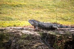 Green iguana, scientifically called Iguana iguana,. Suns itself beside a pond on a golf course in Florida Stock Photos