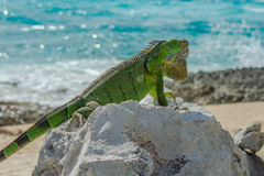 Green Iguana at the shore Royalty Free Stock Images