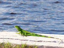 Green iguana on the side of water Royalty Free Stock Image