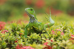 Green iguana sitting on a green brush Stock Photo