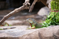 Green iguana sitting still on the rocky ground. Green iguana sitting still on the rocky ground in the morning staring out Stock Photos