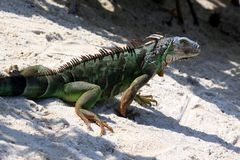 Green iguana sitting on the warm tropical beach sand Royalty Free Stock Photography