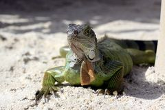 Green iguana sitting on the warm tropical beach sand Stock Photo
