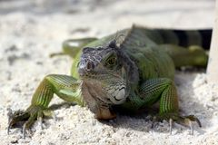 Green iguana sitting on the warm tropical beach sand Stock Image
