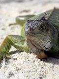 Green iguana sitting on the warm tropical beach sand Stock Images