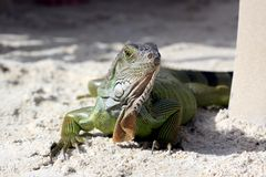 Green iguana sitting on the warm tropical beach sand Royalty Free Stock Photo