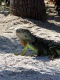 Green iguana sitting on the warm tropical beach sand Stock Photography