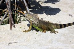 Green iguana sitting on the warm tropical beach sand Royalty Free Stock Photos