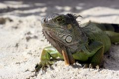 Green iguana sitting on the warm tropical beach sand. Iguana on tropical beach Key Largo, Florida royalty free stock photography