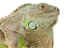 Green iguana snout Stock Images