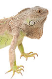Green iguana snout Stock Photography