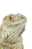 Green iguana snout Royalty Free Stock Photography