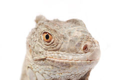 Green iguana snout Stock Photo