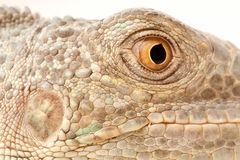 Green iguana snout Stock Photo