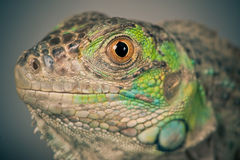 Green iguana snout Royalty Free Stock Photos