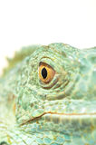 Green iguana snout Royalty Free Stock Photo