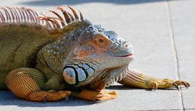 Green iguana in South Florida. Colorful green iguana on concrete walk in south Florida on sunny day stock photos