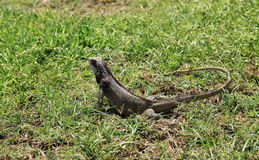 Green Iguana of St Thomas Royalty Free Stock Photos